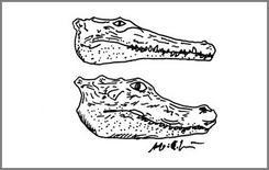 Proiezione laterale della testa di un coccodrillo (in alto) e di un alligatore (in basso).
