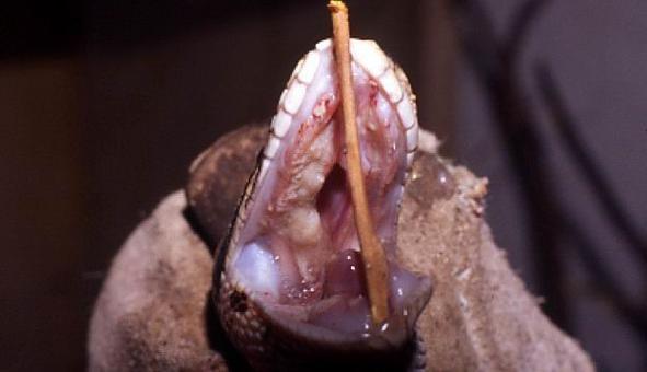 Stomatite infettiva in un ofide caratterizzata dalla presenza di emorragie gengivali e materiale caseoso a livello del palato.