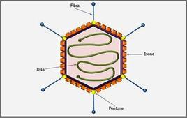 Rappresentazione schematica di un Adenovirus.