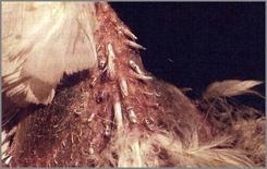 Particolare della rottura e distrofia delle penne del collo in un Cacatua galeritra