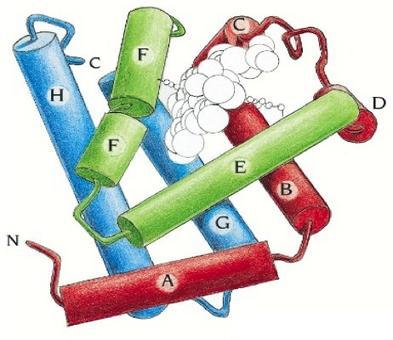Mioglobina. Immagine autoprodotta