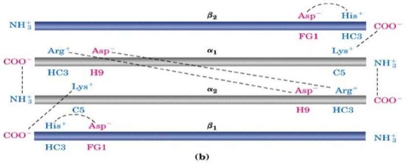 """deossiHb presenta  legami salini che le conferiscono rigidità e contribuiscono alla stabilizzazione della  forma T.  Tratta da: DL Nelson e MM Cox """"I Principi di biochimica di Lehninger"""" ed.Zanichelli."""