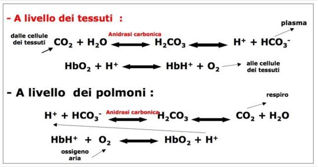 CO2 nel globulo rosso è trasportata sotto forma di HCO3–.