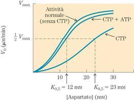 """Regolazione allosterica da parte del CTP e dell'ATP dell'aspartato transcarbamilasi. Tratto da: DL Nelson e MM Cox """"I Principi di biochimica di Lehninger"""" ed. Zanichelli."""