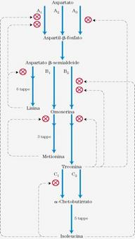 """Meccanismi di regolazione di una via metabolica ramificata che produce amminoacidi derivati dall'aspartato. Tratto da: DL Nelson e MM Cox """"I Principi di biochimica di Lehninger""""  ed. Zanichelli."""