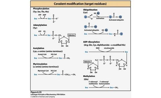 """Alcuni esempi di reazioni di modificazioni covalenti di enzimi. Tratto da: DL Nelson e MM Cox """"I Principi di biochimica di Lehninger"""" ed. Zanichelli."""