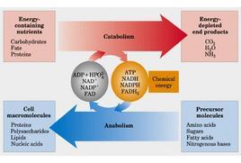 """Relazioni energetiche tra le vie cataboliche e anaboliche. Tratto da: DL Nelson e MM Cox """"I Principi di biochimica di Lehninger"""" ed. Zanichelli."""