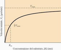 """Relazione tra la velocità iniziale di una reazione e la concentrazione del substrato. Tratto da: DL Nelson e MM Cox """"I Principi di biochimica di Lehninger"""" ed. Zanichelli."""