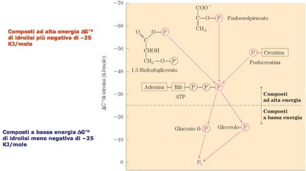"""Composti fosforilati e ΔG'°. Tratto da DL Nelson & MM Cox """"I principi di biochimica di Lehninger"""" Ed. Zanichelli."""
