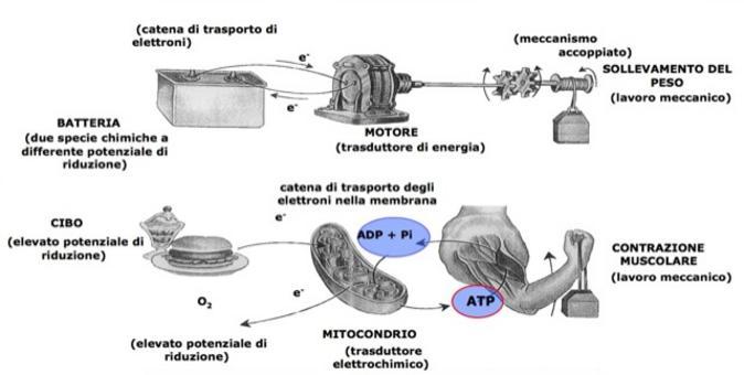 """Tratto da: DL Nelson e MM Cox """"I Principi di biochimica di Lehninger"""" ed. Zanichelli"""