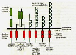 Domini presenti in differenti recettori Tirosina chinasi. Immagine autoprodotta.