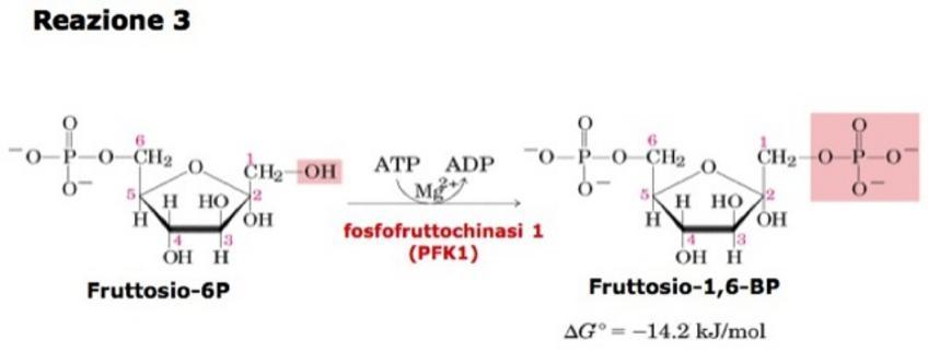 """Nelle condizioni cellulari la reazione catalizzata dalla PFK-1 è esoergonica e quindi irreversibile. Tratto da: DL Nelson e MM Cox """"I Principi di biochimica di Lehninger"""" ed. Zanichelli."""
