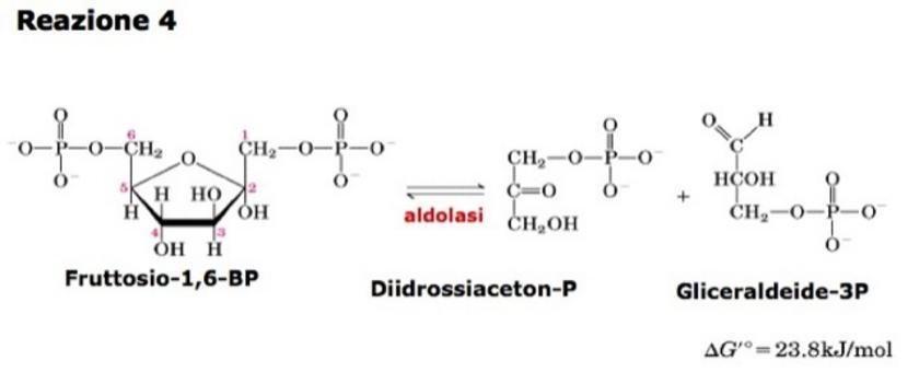 """Nelle condizioni cellulari la reazione è spostata       verso la formazione del fruttosio bisfosfato. Tratto da: DL Nelson e MM Cox """"I Principi di biochimica di Lehninger"""" ed. Zanichelli."""