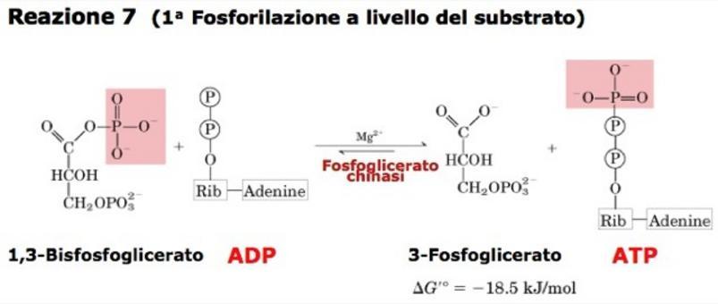 """Formazione di ATP a partire da ADP tramite fosforilazione a livello del substrato, per distinguerla dalla fosforilazione ossidativa (formazione di ATP grazie ad un gradiente elettrochimico). Tratto da: DL Nelson e MM Cox """"I Principi di biochimica di Lehninger"""" ed. Zanichelli."""