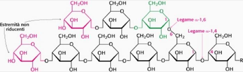 """Struttura compatta e ramificata  PM = fino a 108 massa che equivale a 6×105 residui di glucosio. Tratto da: JM Berg, JL Tymoczko, L Stryer  """"Biochimica"""" Quinta edizione, Zanichelli."""