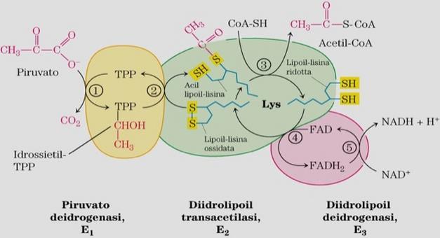 """Tratto da: DL Nelson e MM Cox """"I Principi di biochimica di Lehninger"""" ed. Zanichelli. Per il commento si veda la slide successiva."""