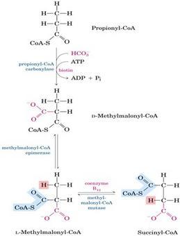 """L'ossidazione degli acidi grassi a catena dispari produce oltre all'acetil-CoA, il propionil-CoA che è metabolizzato secondo lo schema in alto. Tratto da: DL Nelson e MM Cox """"I Principi di biochimica di Lehninger"""" ed. Zanichelli."""