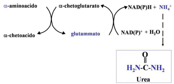 L'azione combinata delle aminotransferasi e della glutammato deidrogenasi è definita TRANSDEAMINAZIONE.
