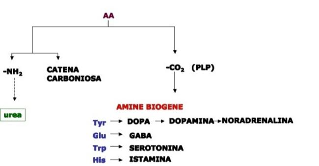 Il piridossalfosfato (PLP) partecipa come coenzima nella decarbossilazione ossidativa   per la sintesi di amine biogene.