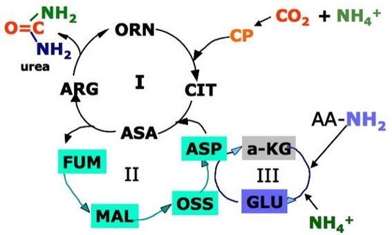 Collegamento del ciclo dell'Urea (I) con altri cicli: Ciclo di Krebs (II) e reazioni di transaminazione (III).