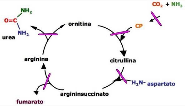 Sono note alterazioni genetiche (alcune delle quali LETALI) a carico di vari enzimi coinvolti nel ciclo dell'Urea .