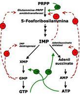 Meccanismi di regolazione a feedback della biosintesi dei nucleotidi purinici. Immagine autoprodotta.