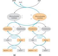 """Riduzione dei ribonucleotidi. Tratto da: DL Nelson e MM Cox """"I Principi di biochimica di Lehninger"""" ed. Zanichelli."""