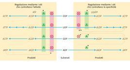 """Regolazione della ribonucleotide reduttasi. Tratto da: DL Nelson e MM Cox """"I Principi di biochimica di Lehninger"""" ed. Zanichelli."""