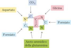 """Origine degli atomi dell'anello purinico. Tratto da: DL Nelson e MM Cox """"I Principi di biochimica di Lehninger"""" ed. Zanichelli."""