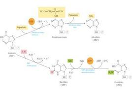 """Tappe della biosintesi dell'AMP e del GMP dall'IMP. Tratto da: DL Nelson e MM Cox """"I Principi di biochimica di Lehninger"""" ed. Zanichelli."""
