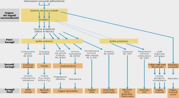 """La figura mostra il processo gerarchico di segnalazione ormonale. Tratto da: DL Nelson e MM Cox """"I Principi di biochimica di Lehninger"""" ed. Zanichelli."""