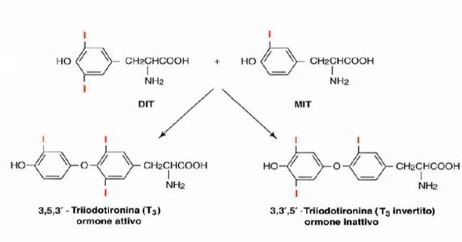 - T3  e T4  una volta sintetizzati rimangono legati covalentemente alla TG, che si deposita nella cavità dell'acino in attesa di utilizzazione. Immagine autoprodotta.