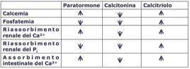 Azione del paratormone, calcitonina e calcitriolo sul metabolismo del calcio e fosforo.