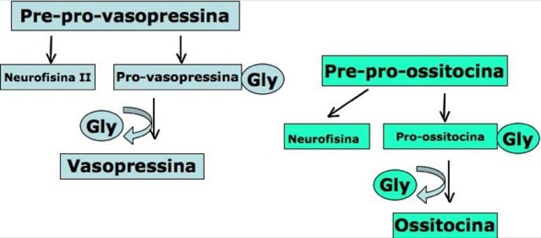 La vasopressina e la ossitocina sono prodotte per proteolisi selettiva da precursori di PM più elevato.