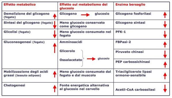 Effetti del glucagone sulla concentrazione di glucosio nel sangue: produzione  e rilascio di glucosio da parte del fegato.