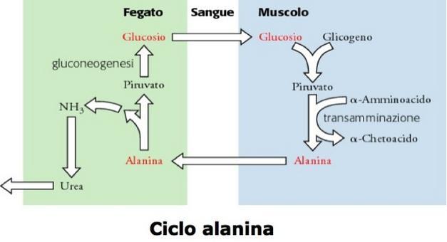 Ciclo alanina. Immagine autoprodotta.