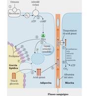 """Mobilizzazione dei trigliceridi del tessuto adiposo.  Tratto da: DL Nelson & MM Cox """"I principi di biochimica di Lehninger"""" Ed. Zanichelli."""