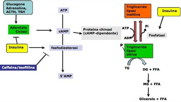 Schema generale della regolazione ormonale della lipolisi.