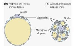 """Adipocita del tessuto adiposo bianco (b) e bruno (c).   Tratto da: DL Nelson & MM Cox """"I principi di biochimica di Lehninger""""  Ed. Zanichelli."""