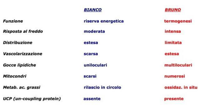 Tessuto adiposo bianco e bruno (differenze).