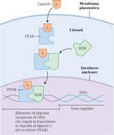 """Meccanismo d'azione dei recettori PPAR. Tratto da: """"Principi di biochimica"""" di A.L.Lehninger ed. Zanichelli."""