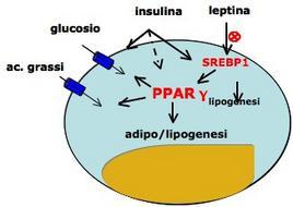 Integrazione di segnali sul recettore PPARγ. Immagine autoprodotta.