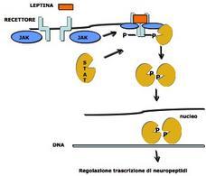 Il segnale della leptina trasdotto con meccanismo JAK/STAT. Immagine autoprodotta.