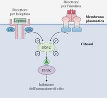 """Modello per l'interazione tra recettori dell'insulina e della leptina. Tratto da: DL Nelson & MM Cox """"I principi di biochimica di Lehninger"""" Ed. Zanichelli."""