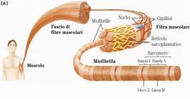 """Tessuto muscolare scheletrico. Tratto da: DL Nelson & MM Cox """"I principi di biochimica di Lehninger"""" Ed. Zanichelli."""