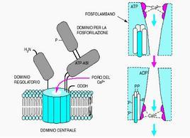 """Schema della struttura e del funzionamento della pompa del calcio del reticolo. Tratto da: """"Biochimica Medica"""" di Siliprandi & Tettamanti  ed. Piccin."""