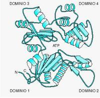 """Struttura a nastro dell'actina G. Tratto da: """"Biochimica Medica"""" di Siliprandi & Tettamanti  ed. Piccin."""