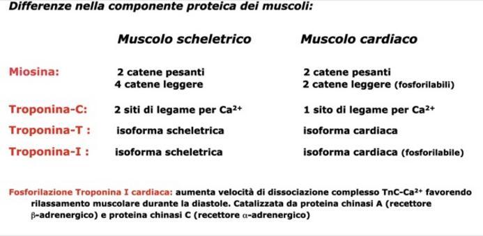 Differenze nella componente proteica dei muscoli.