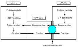 """Schema trasporto della carnitina nel miocardio. Tratto da: """"Biochimica Medica"""" di Siliprandi & Tettamanti  ed. Piccin."""