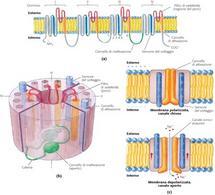 """Tratto da: DL Nelson & MM Cox """"I principi di biochimica di Lehninger"""" Ed. Zanichelli."""